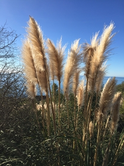 Pampas Grass in Big Sur - CA